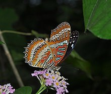 Close wing position of Male Cethosia biblis Drury, 1770 – Red Lacewing WLB DSC 0102.jpg