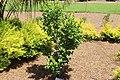 Coastal Georgia Botanical Gardens, White Sasanqua camellia sasanqua 'Northern Exposure'.jpg
