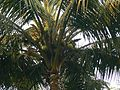 Coconut (368852580).jpg