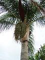 Cocos Palms (5573632370).jpg