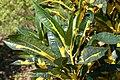 Codiaeum variegatum Nortii 0zz.jpg