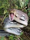 Coelognathus radiatus- Copper headed trinket snake- threat display.jpg