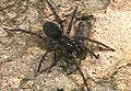 Coelotes.yaeyamensis.female.-.tanikawa.jpg