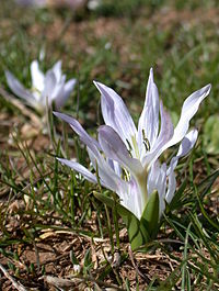 Colchicum brachyphyllum 2.jpg