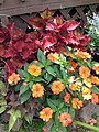 Coleus, Sweet Potato and Impatiens (15932462673).jpg