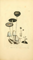 Coloured Figures of English Fungi or Mushrooms - t. 262.png