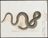 Coluber fasciatus - 1700-1880 - Print - Iconographia Zoologica - Special Collections University of Amsterdam - UBA01 IZ12100031.tif