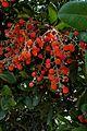 Comarostaphylis diversifolia (4986961909).jpg