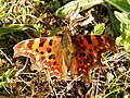 Comma (Polygonia c-album) (5615315617).jpg