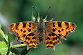 Comma (Polygonia c-album) 1.jpg