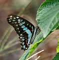 Common Jay (Graphium doson) in Hyderabad, AP W 181.jpg