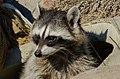 Common Raccoon (Procyon lotor) (10388591995).jpg