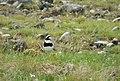 Common Ringed Plover. Charadrius hiaticula (27272889539).jpg