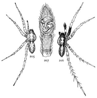 <i>Pardosa saxatilis</i> species of arachnid