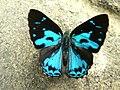 Common gem Poritia hewitsoni.jpg