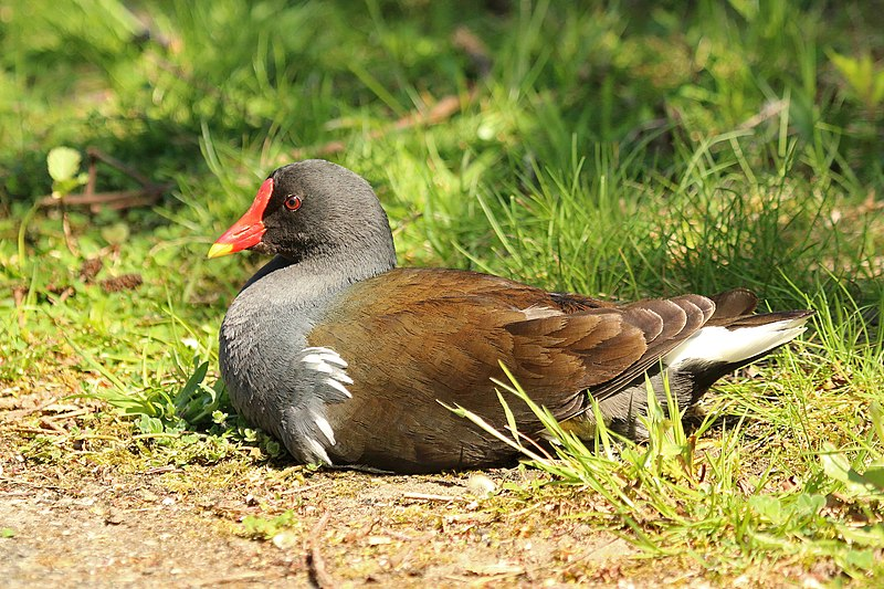 파일:Common moorhen (Gallinula chloropus) young adult.jpg