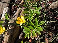 Common silverweed (Potentilla anserina) (7445046798).jpg