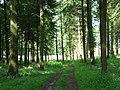 Coniferous woodland, Clarendon Park - geograph.org.uk - 483710.jpg
