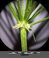 Conium maculatum sl20.jpg