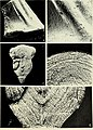 Conodont ultrastructure - the subfamily Acanthodontinae (1975) (20058240384).jpg