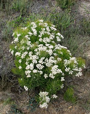 Conospermum mitchellii - Conospermum mitchellii at Anglesea Heath