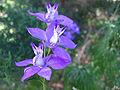 Consolida ajacis detalle flor.jpg