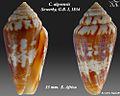 Conus algoensis 2.jpg