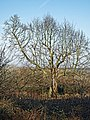 Copped Hall north garden tree, Epping, Essex, England 02.jpg