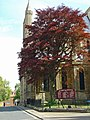 Copper beech, Beverley Minster - geograph.org.uk - 1316730.jpg