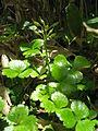 Coptis trifolia 4.JPG