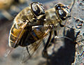 Copulating flies 1.jpeg