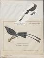 Copurus colonus - 1809-1845 - Print - Iconographia Zoologica - Special Collections University of Amsterdam - UBA01 IZ16500247.tif