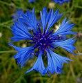 Cornflower - Flickr - Stiller Beobachter.jpg
