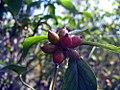 Cornus florida Cherokee Princess 0zz.jpg