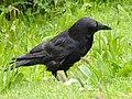 Corvus corone (14371298421).jpg