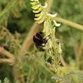 Corydalis chelidoniifolia-IMG 4187.jpg
