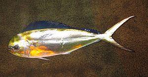 Pompano dolphinfish - Image: Coryphaena equiselis