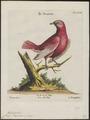 Cotinga pompadora - 1700-1880 - Print - Iconographia Zoologica - Special Collections University of Amsterdam - UBA01 IZ16600093.tif