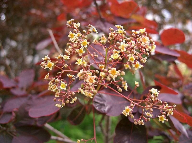 File:Cotinus coggygria Royal Purple3.jpg