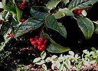 Cotoneaster-bullatus