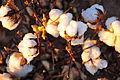 Cotton field kv34.jpg