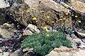 Cotula hispida 2.jpg