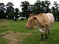 Cow, White Island - geograph.org.uk - 1418474.jpg