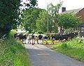 Cow crossing - geograph.org.uk - 190612.jpg