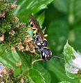 Crabronidae. Mellinus arvensis - Flickr - gailhampshire (3).jpg