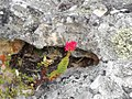Crassula coccinea Klipblom - Cape Peninsula 2.jpg