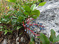 Creeping Barberry (14891703667).jpg