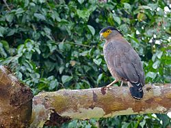 Crested Serpent Eagle (Spilornis cheela) (8070748710).jpg