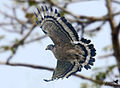 Crested Serpent Eagle at Kaziranga.jpg