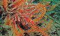Crinoid Shrimp (Laomenes cornutus) on Feather Star (Comatulida) (6062189392).jpg